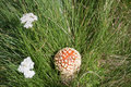 Free Amanita Mushroom Royalty Free Stock Photography - 15782887