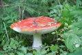 Free Amanita Mushroom Royalty Free Stock Image - 15782986