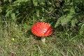 Free Amanita Mushroom Stock Photography - 15783032
