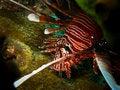 Free Lionfish Stock Photos - 15789653