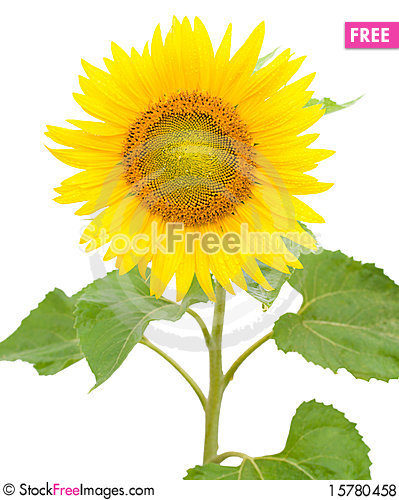 Sunflower with drops of water Stock Photo