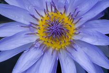 Free Purple Water Lily Stock Photography - 15780132