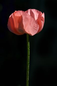 Free Poppy Royalty Free Stock Image - 15780446