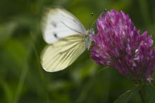 Free Large White Buttefly Royalty Free Stock Photos - 15780668