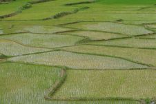 Free Green Rice Fields Stock Images - 15781434