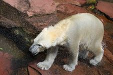 Free Polar Bear Freshly From The Water Stock Photos - 15781613