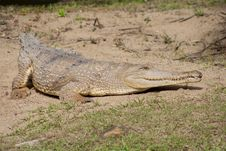 Free Australian Saltwater Crocodile Stock Photography - 15781662