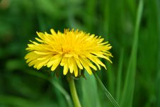 Free Dandelion Flower Stock Photo - 15781670