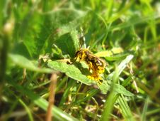 Free Bee On Green Leaf Full Of Pollen Stock Photo - 15781840
