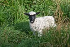 Free Black And White Lamb Royalty Free Stock Photos - 15782198