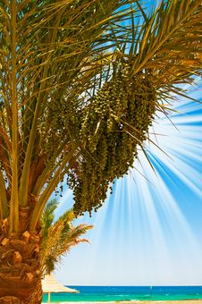 Free Date Palm With Green Unripe Dates And Blue Ocean. Royalty Free Stock Photography - 15782237