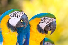 Free Yellow Blue Macaws Royalty Free Stock Images - 15782549
