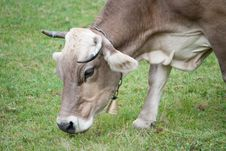 Free Portrait Of A Cow Close Stock Photography - 15782572