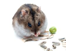Free Dwarf Hamster Clicks Sunflower Seeds Royalty Free Stock Photo - 15783475