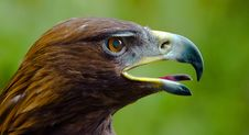 Free Golden Eagle Stock Images - 15783574