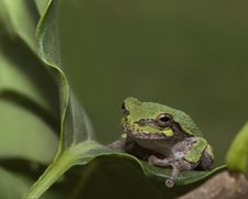 Baby Tree Frog Royalty Free Stock Images