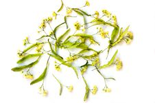 Free Flowerses Of The Lime Stock Images - 15783834