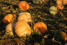 Free Ripe Pumpkins In The Field Royalty Free Stock Photo - 15783985