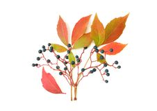Free Wild Grape Royalty Free Stock Photos - 15784008