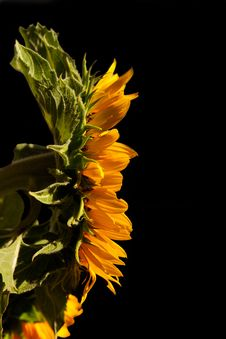 Free Sunflower On Black Background Stock Photo - 15784280