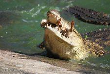Crocodile Eating Stock Image