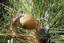 Free Duck Brown Stock Photos - 15784693