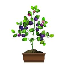 Free Bilberry Bush In Flowerpot Stock Image - 15786911