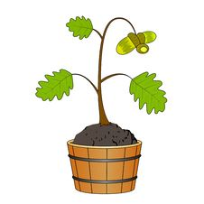 Oak Tree With Acorn Royalty Free Stock Photo