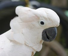 Free Cockatoo Royalty Free Stock Photography - 15787867