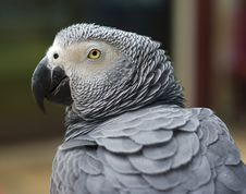 Free Grey Parrot Stock Photography - 15788032