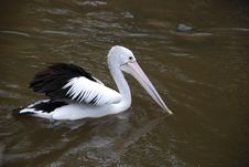 Free Pelican-2 Royalty Free Stock Photography - 15789057