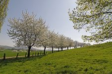 Footpath With Cherry Trees In Hagen, Germany Stock Photography
