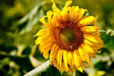 Free Sunflower On Wild Field Royalty Free Stock Photos - 15789688