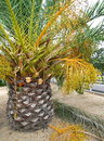 Free Palm Tree With Fruits Stock Photography - 15790572