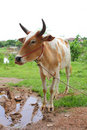 Free Ox In Countryside Stock Images - 15791214