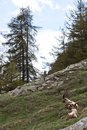 Free Capra Ibex - Italian Alps Royalty Free Stock Images - 15794219