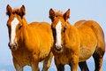 Free Beautiful Red Horses Taken In Italian Mountains Royalty Free Stock Photo - 15795815