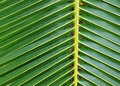 Free Green Color Coconut Leaf Detail Stock Photo - 15798630