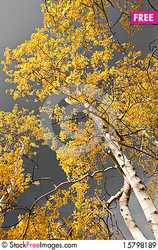 Autumn Aspens Stock Photo