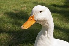Free Head Of A White Duck Royalty Free Stock Photos - 15790298