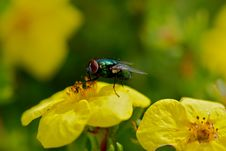 Free Green Fly On Yellow Flower Royalty Free Stock Photo - 15790585