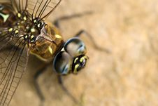 Free Big Dragonfly Royalty Free Stock Image - 15790596