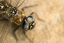 Big Dragonfly Royalty Free Stock Image