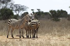 Free Zebras Royalty Free Stock Photography - 15790667