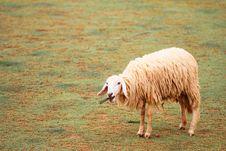 Free Sheep In Farm Stock Photo - 15791960