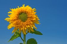 Sunflower Over The Blue Sky Royalty Free Stock Images