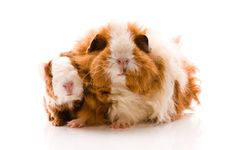 Free Guinea Pigs. Baby Royalty Free Stock Image - 15792246