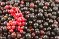 Free Red And Black Currant Closeup Stock Image - 15792681