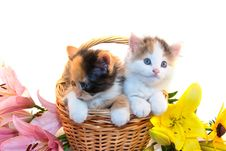 Free Little Kittens In A Basket And Flowers Royalty Free Stock Image - 15792716