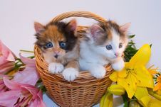 Free Little Kittens In A Basket And Flowers Stock Photos - 15792723